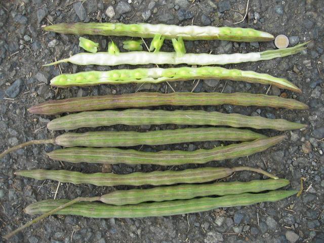 Moringa (Moringa oleifera) pods