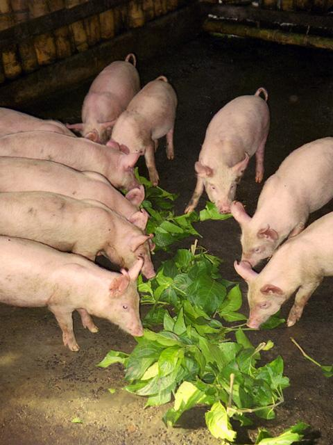 Pigs eating mulberry leaves