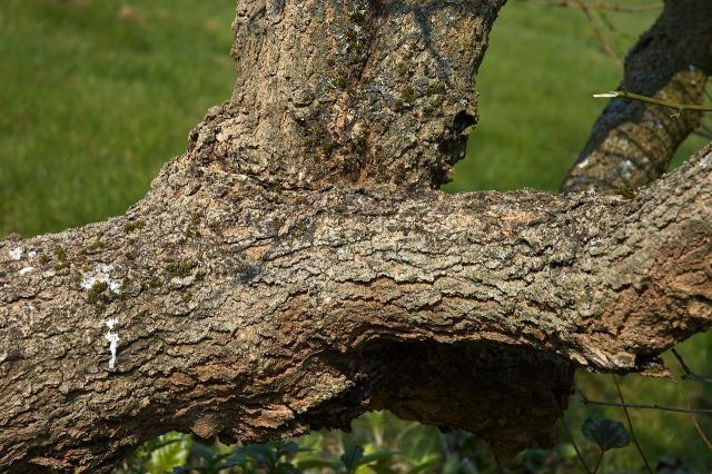 Black mulberry bark (Morus nigra)