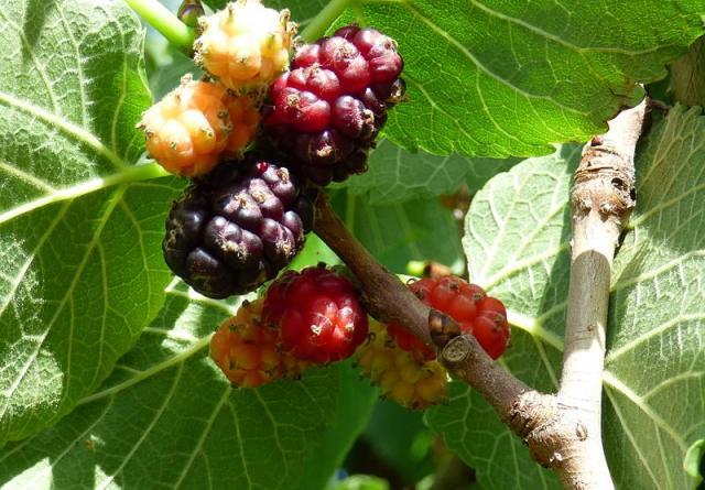 Ripe fruit and foliage of black mulberrry (Morus nigra)