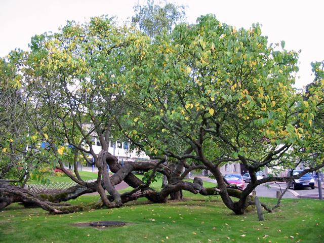 Black mulberry tree (Morus nigra)