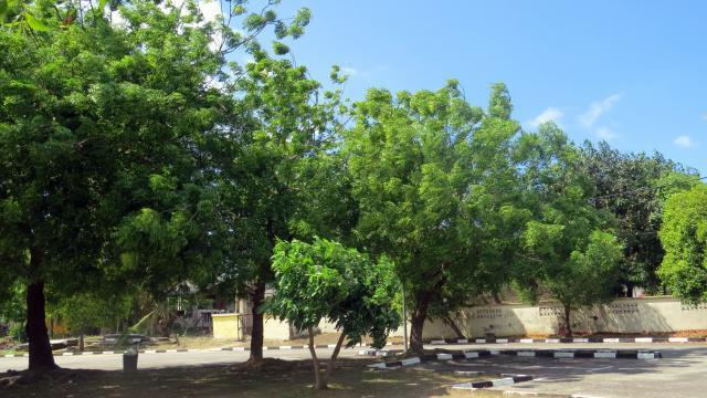 Neem (Azadirachta indica) trees, Terengganu, Malaysia