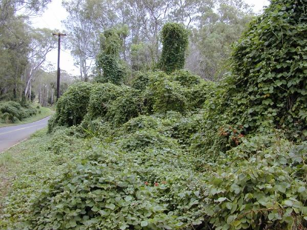 Perennial soybean (Neonotonia wightii), climbing, Hawaii