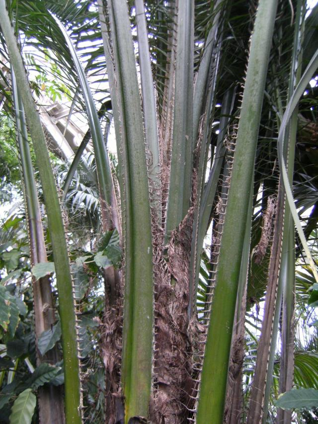 African palm oil (Elaeis guineensis), fronds and leaves, Kew Gardens, London