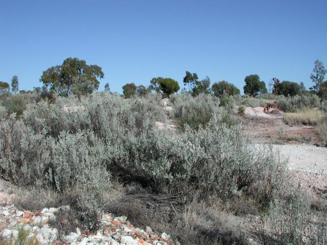 Old man saltbush (Atriplex nummularia), habit