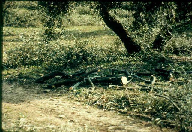 Olive tree (Olea europaea) foliage (stems+leaves), Andalusia, Spain