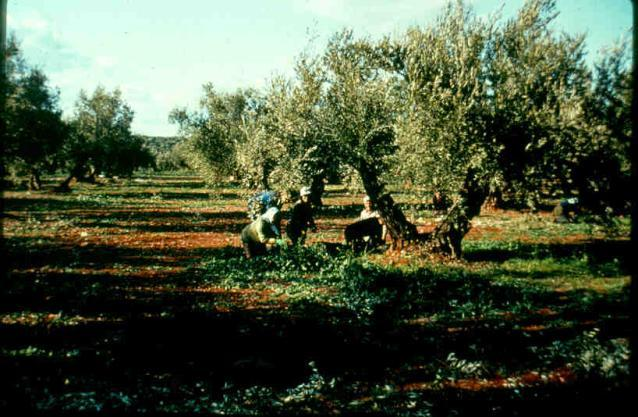 Olives picked on the ground