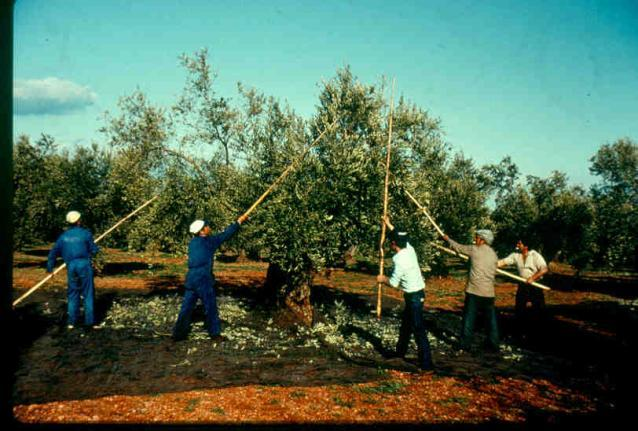 Olives collected with a net