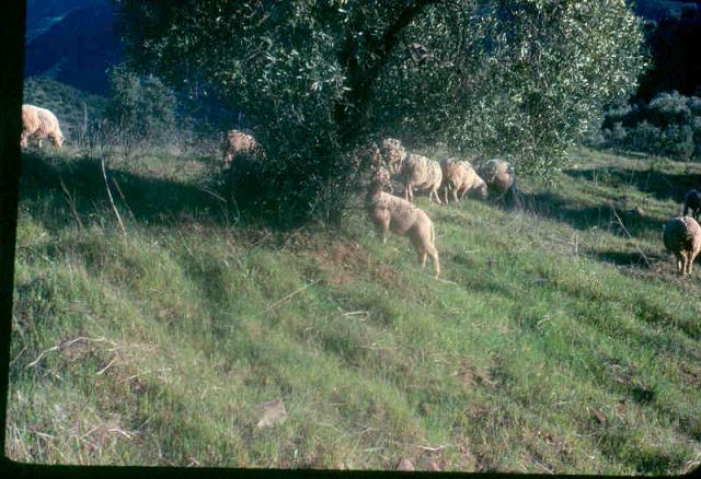 Olive trees (Olea europaea) and browsing sheep, Andalusia, Spain