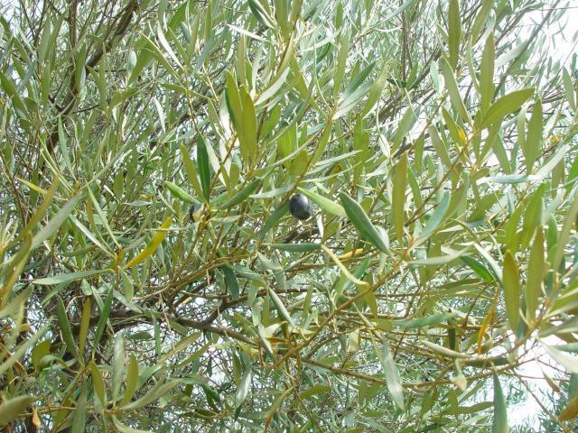 Olive tree (olea europaea) leaves and fruit