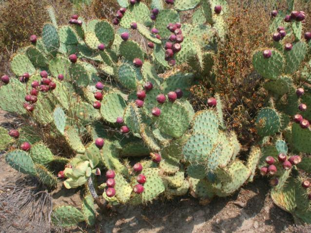 Opuntia, South of France