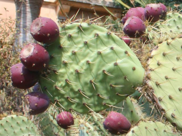 Opuntia fruits, South of France