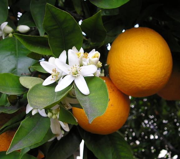 Orange (Citrus x sinensis), fruits and flowers
