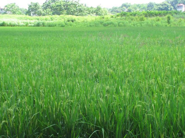 Rice field, Central Vietnam