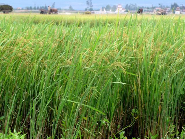 Rice field during harvest, Central Vietnam