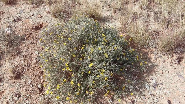 Osteospermum spinescens. Credit: lorainevdb