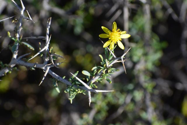 Osteospermum spinescens. Credit: Joti Daya