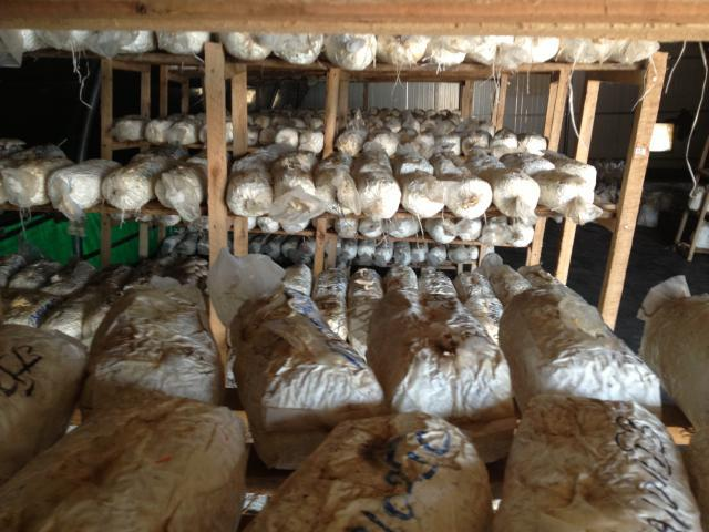 Spent substrate resulting from oyster mushroom (Pleurotus ostreatus) production