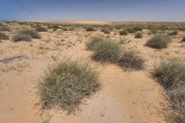 Desert grass (Panicum turgidum) tussocks