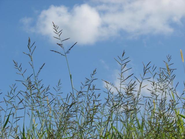 Para grass (Brachiaria mutica), habit, Hawaii