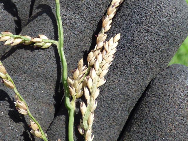 Para grass (Brachiaria mutica), seedhead
