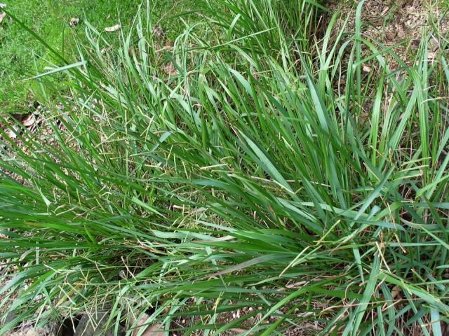 Scrobic (Paspalum scrobiculatum), Hawaii
