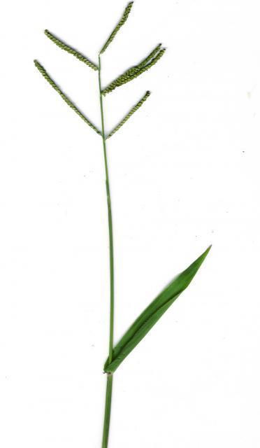 Scrobic (Paspalum scrobiculatum)