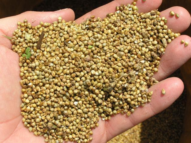 Pearl millet before cleaning for food use