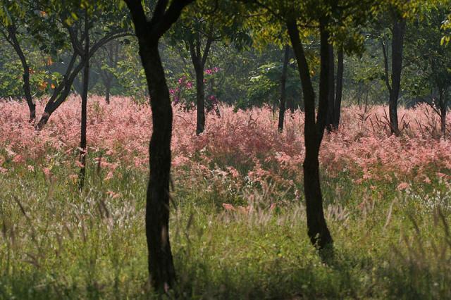 Nigeria grass (Pennisetum pedicellatum), sward, Hyderabad, India