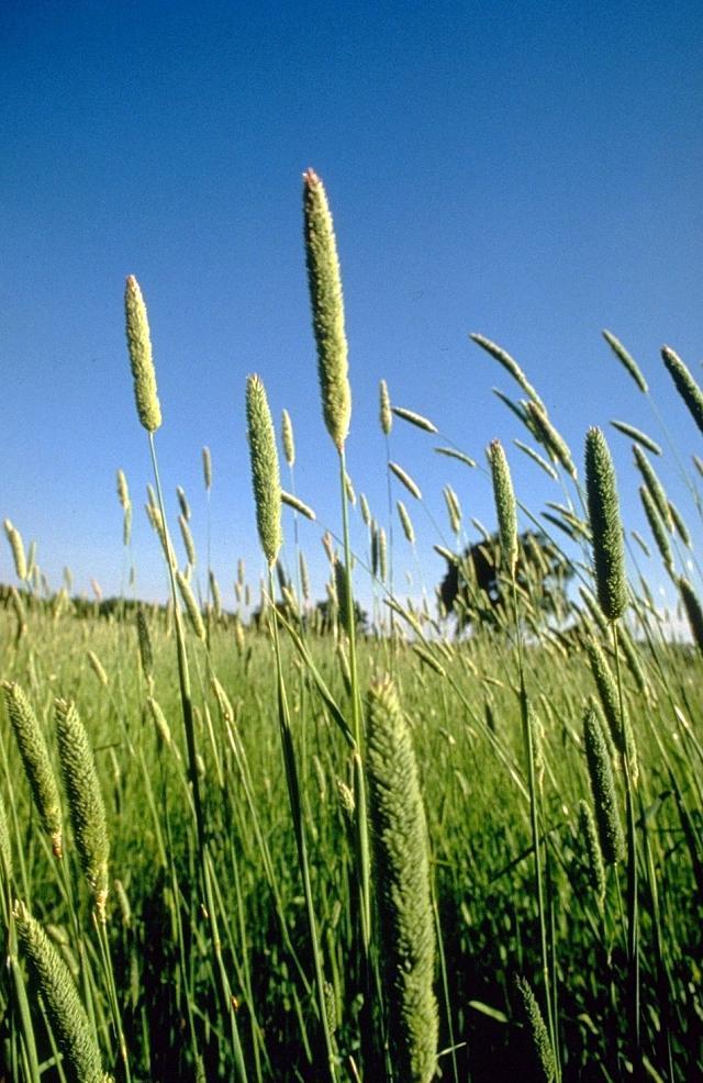 Bulbous canary grass (Phalaris aquatica), habit, USA