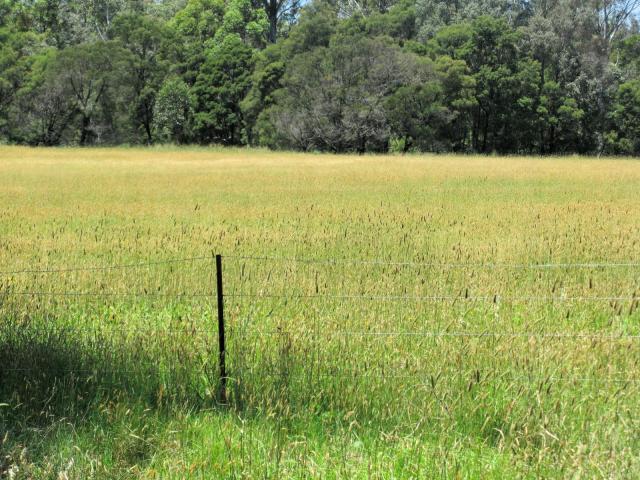 Stand of bulbous canary grass (Phalaris aquatica), South West Rocks, Australia