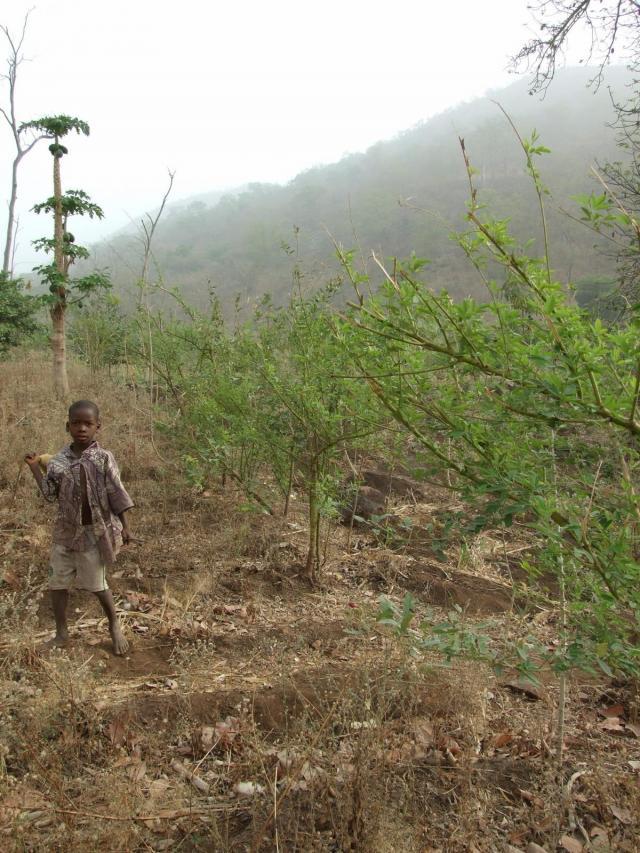 Pigeon pea (Cajanus cajan) plantation providing green forage for rabbits in Benin