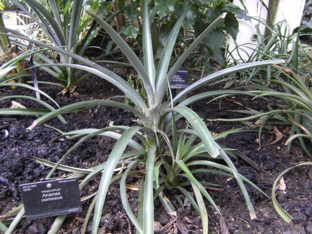Pineapple (Ananas comosus), leaves