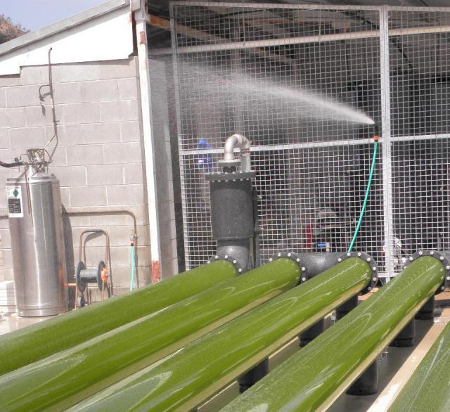 Microalgae (Nannochloropsis) in pipes, aquaculture facilities in Australia
