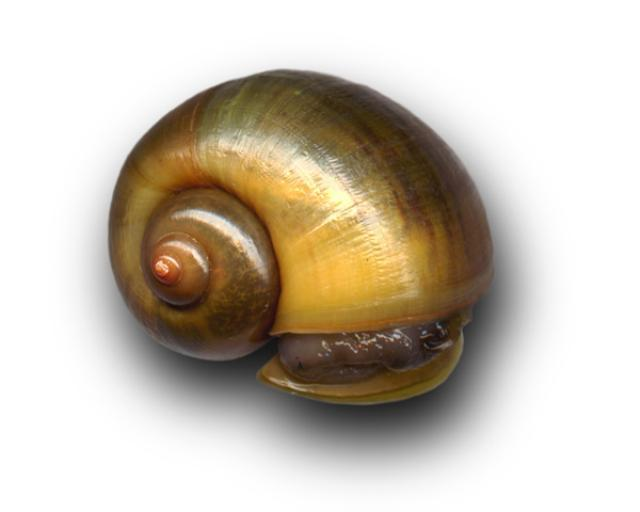 Pomacea canaliculata shell
