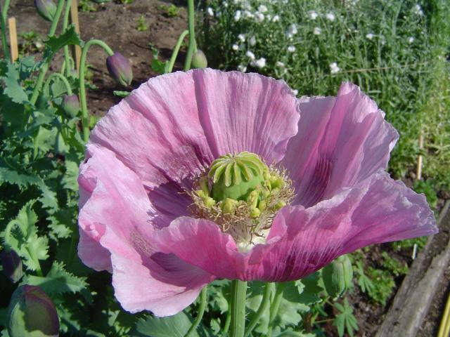 Poppy (Papaver somniferum), flower and seedhead, England