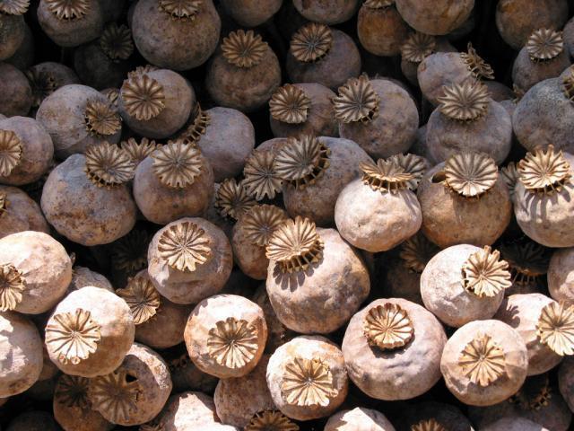 Poppy (Papaver somniferum), dried seedheads