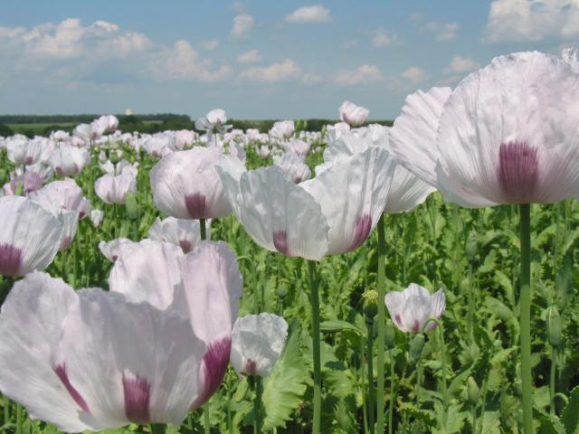 Poppy (Papaver somniferum) field, France