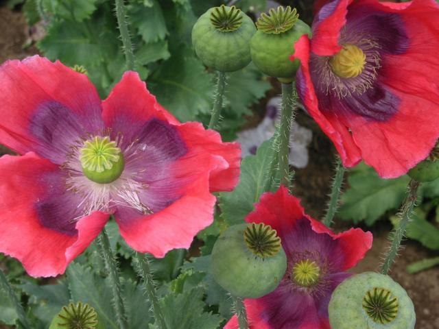 Poppy (Papaver somniferum), seedheads and flowers