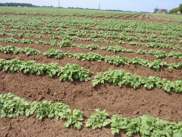 Potato field, France