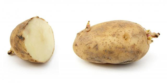 Russet potato cultivar with sprouts, sliced and whole