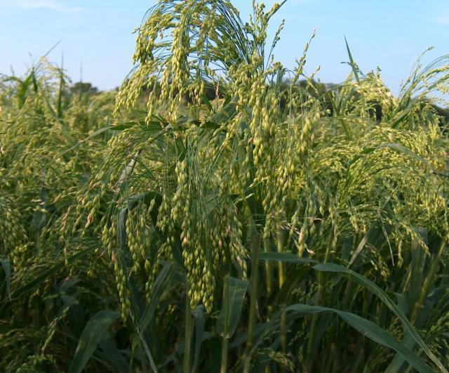 Proso millet (Panicum miliaceum) spike