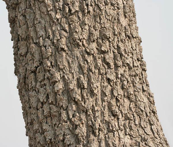 Prosopis (Prosopis cineraria) grey, fissured bark