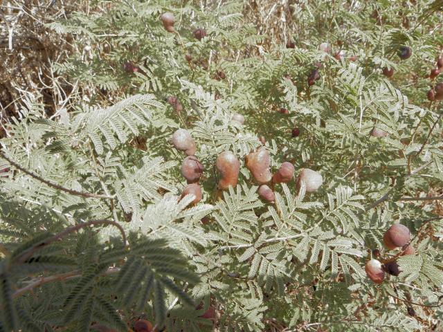 Fruits on Prosopis farcta