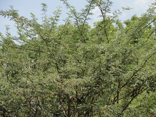 Prosopis fuliflora, Tamil Nadu, India
