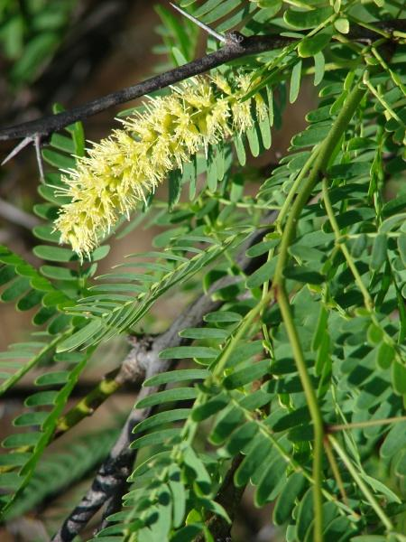 Mesquite (Prosopis juliflora), flowers and leaves, Hawaii