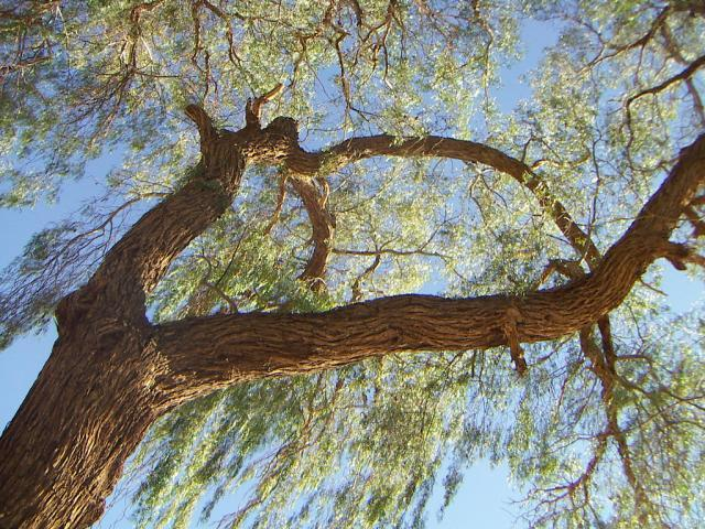Tamarugo tree, Chile