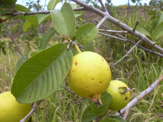 Guava (Psidium guajava) fruits on tree, Maui, Makawao, Hawaii