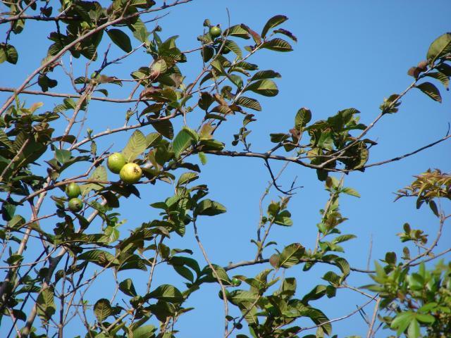 Guava (Psidium guajava) habit, Maui, Haiku, Hawaii