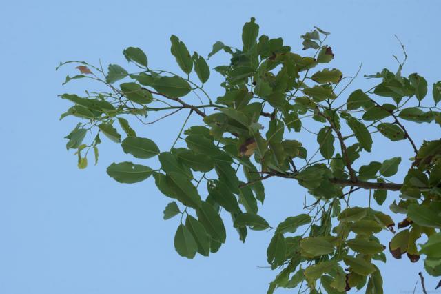 Barwood (Pterocarpus erinaceus) foliage